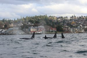 Southern Resident Orca Research Update w/ Dr. Brad Hanson @ C&P Coffee Company | Seattle | Washington | United States
